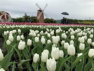 中社花市鬱金香花季登場 遊客冒雨與花同框