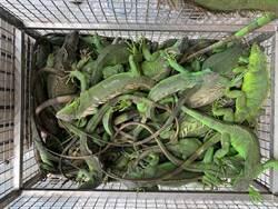 綠鬣蜥野外繁殖快 屏縣一年抓超過4000隻