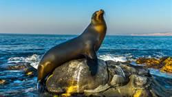 超巨海獅上岸休息 壓沉遊艇他驚呆