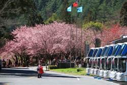 武陵櫻花季將登場 1/21起開放申請車輛通行證