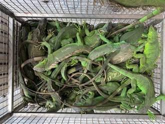绿鬣蜥野外泛滥 屏东9个月抓5000多只冠全台