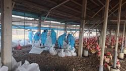 雲林開年第一例禽流感 撲殺2萬3千隻雞