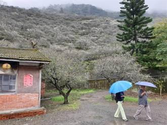 連日低溫雨水充足  六龜梅花綻放5成