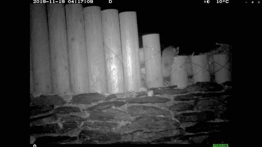 鼬獾爬過攔阻土砂之疏伐木構造物。(新竹林管處提供/巫靜婷苗栗傳真)