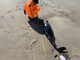 海巡署塭仔頭安檢所 昨發現1罕見江豚死在岸上