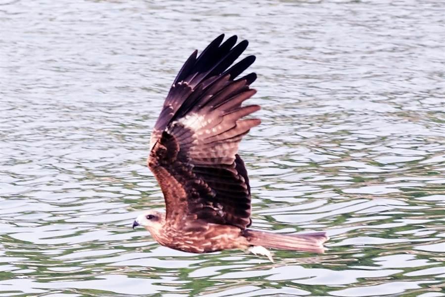 黑鳶抓起釣客和遊客丟回水裡的小魚。(圖/鄭緯武提供)