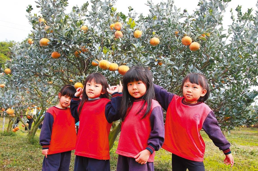 小朋友首  次進入茂谷柑果園 ,看到果實還在樹上的景象感到興奮。(周麗蘭攝)