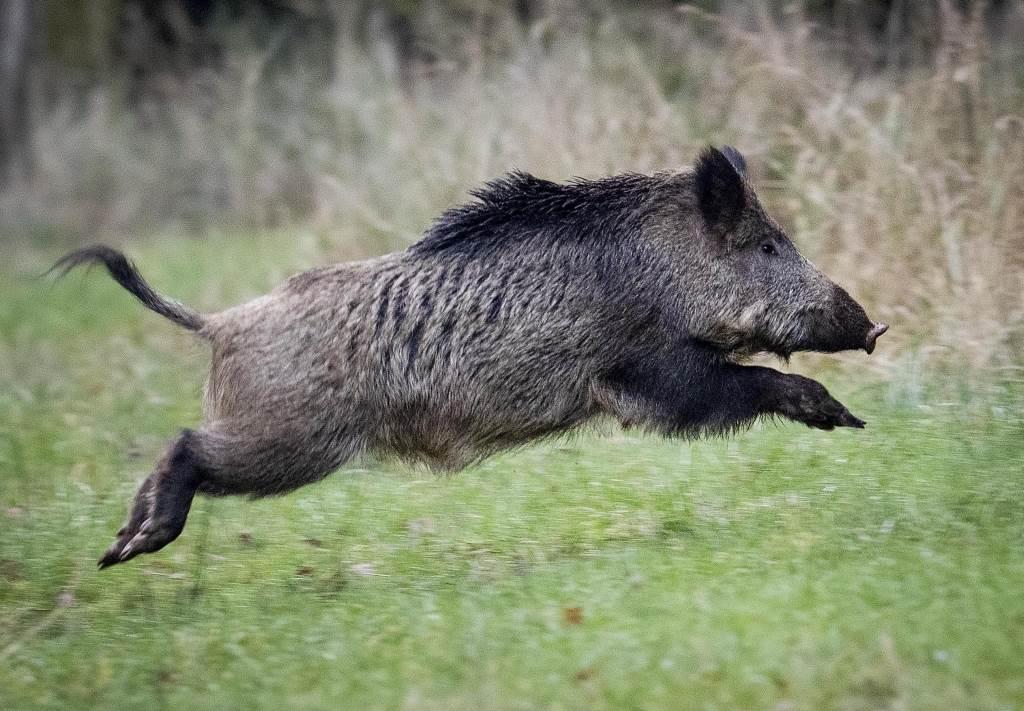 一隻健康的歐洲野豬在草地奔馳。(美聯社資料照)