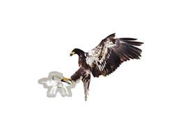 信鴿出任務 間諜鳥騙得過雷達