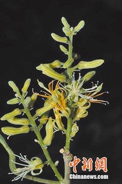 雲南發現多毛斑果藤 屬極危等級