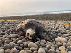 瀕危赤蠵龜死在台中海域 死因待釐清