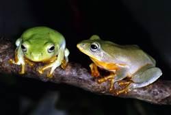 冬季也有男低音唱天籟?原來是樹蛙求偶唱「愛之歌」