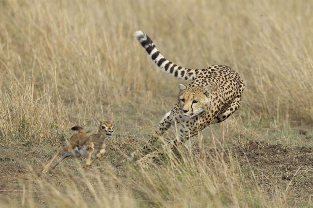 初生羚羊被丟包認錯媽 獵豹反應罕見(示意圖/達志影像)