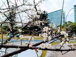 榮星花園賞花趣!梅花大朵開 依偎水池飄芳香