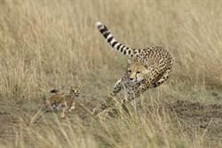 初生羚羊被丟包認錯媽 獵豹反應罕見