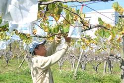 卓蘭巨峰葡萄冬果採收 批發價創新高