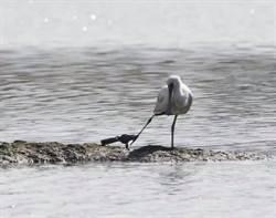 保育悲歌 黑面琵鷺腳掛捕獸夾現踪宜蘭