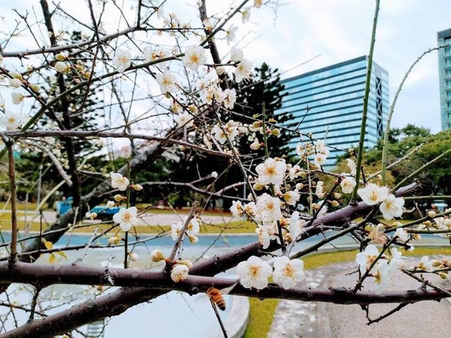 榮星花園內老梅樹花朵綻放,梅樹依偎水池旁,格外有一番風情。(圖取自台北旅遊網)