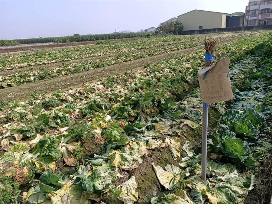 郭農最近常發現田裡有高麗菜遭竊,為此他還特地立牌,警告不法之徒。(張毓翎攝)