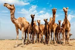 野火狂燒 澳洲決定再殺1萬頭駱駝