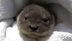 動物園新年傳憾事!歐亞水獺寶寶「青嶼」因先天性疾病夭折