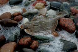 比目魚驚現罕見泳姿 網一看全餓了