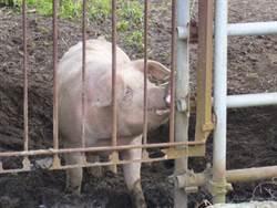 沖繩時隔33年驚傳豬瘟疫情 阿古豬也中標