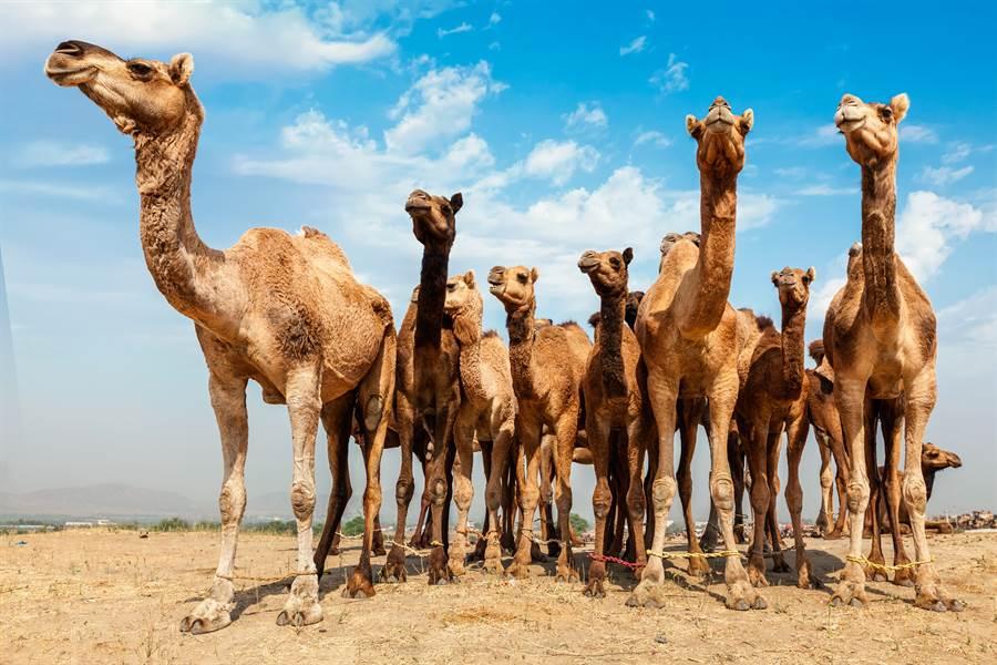 野火狂燒 澳洲決定再殺1萬頭駱駝(示意圖/達志影像)