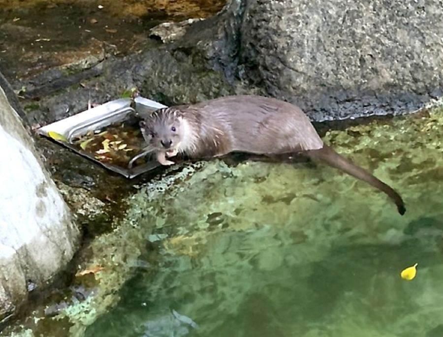 歐亞水獺「青嶼(雌)」出生於108年3月9日(林宣足攝)。(台北市立動物園提供)