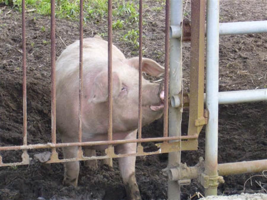 日本千葉縣養豬場的豬。(示意圖,黃菁菁攝)
