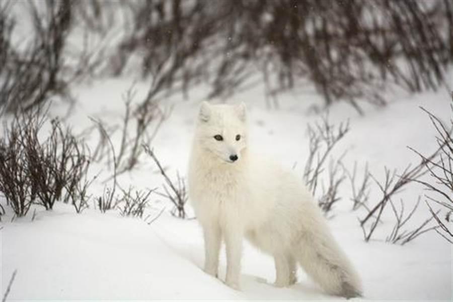 大同區某咖啡廳飼養一隻白色狐狸,多次遭民眾檢舉照顧不當。(示意圖/shutterstock)