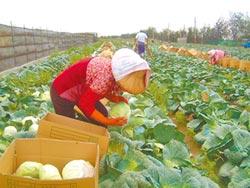過程疑點多 內情恐不單純 專家研判 農委會指示北農銷毀高麗菜