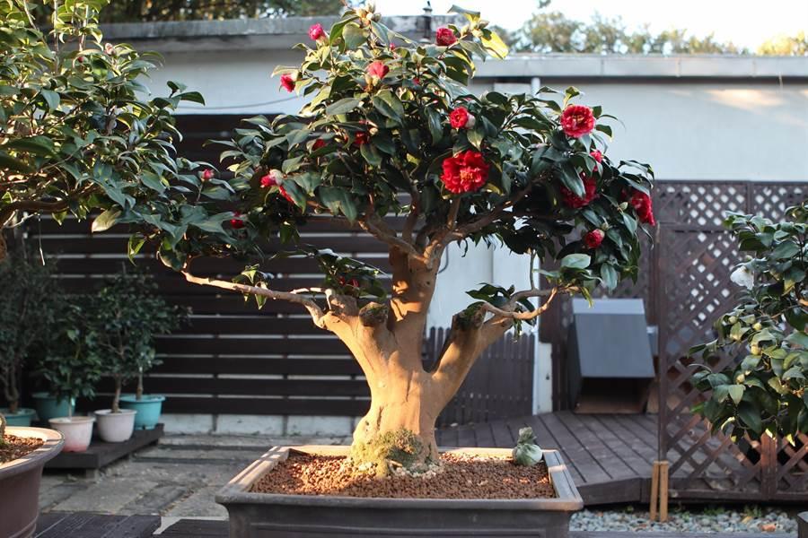 茶花「黑金」。(圖取自台北市公園處官網)