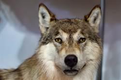 狼闖民宅吃雞 警重裝激戰誤會大了