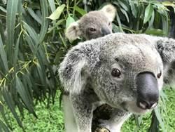 澳洲大火 可愛無尾熊沒了家!動物園界籲遊客踴躍捐款