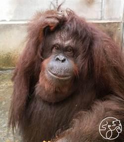 竹市動物園紅毛猩猩貝比不明原因墜地亡