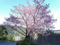 山巒吐露粉色  揭開浪漫櫻花花期序幕