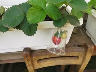 官田國小學童種草莓 利用回收透明飲料杯防鳥啄