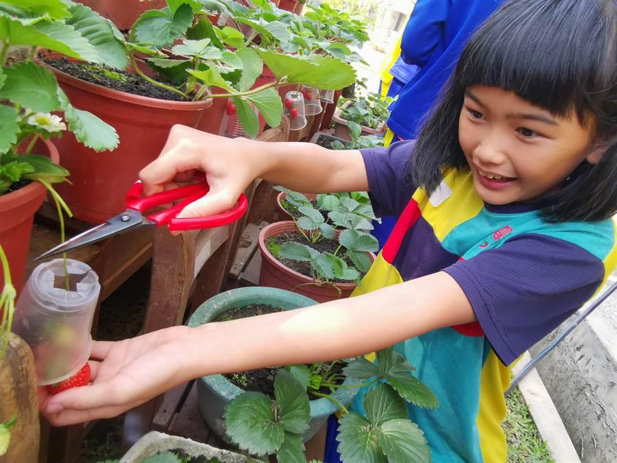 官田國小學童發揮巧思,用回收的透明飲料杯保護草莓。(劉秀芬攝)