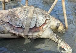 回不去大海!赤蠵龜疑誤食垃圾魂斷彰化漢寶濕地