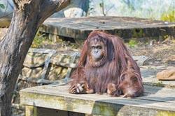 不明原因突然摔落邊坡竹市動物園 人瑞級紅毛猩猩 墜地亡