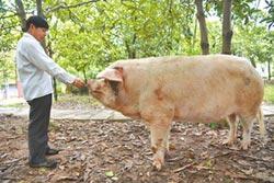 川震劫後餘生 豬堅強12歲了