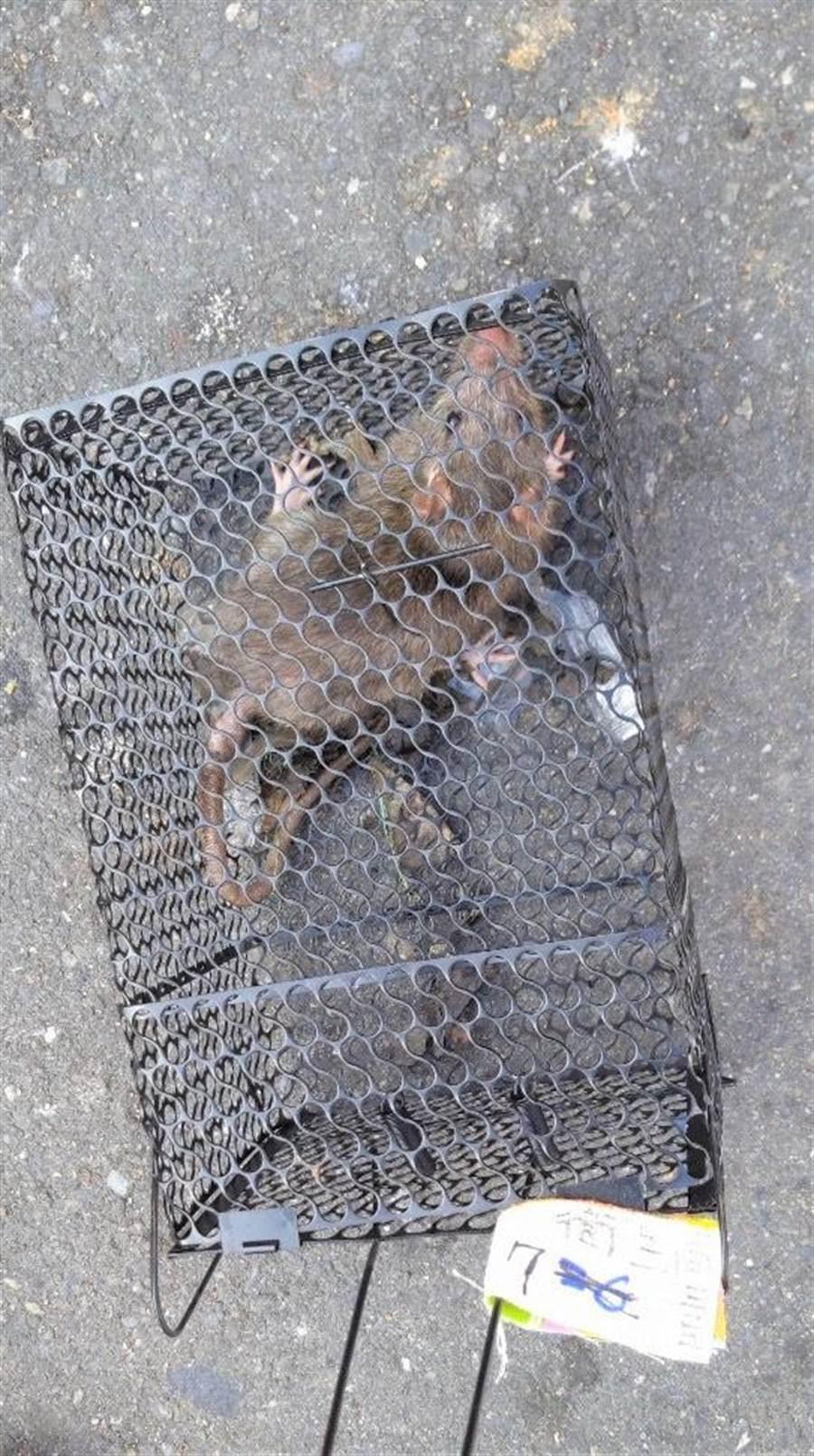 高市衛生局針對個案居住地、活動地進行鼠隻監測,截至1月11日,居住地累計捕獲鼠隻8隻,工作地累計捕獲鼠隻3隻。(高市衛生局提供/柯宗緯高雄傳真)