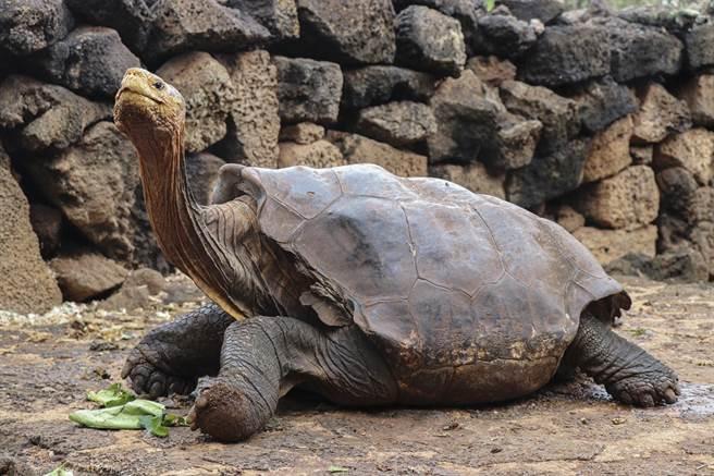 迪亞哥過去50年來成功繁衍出800隻後代,讓牠所屬的加拉巴戈斯象龜亞種杜絕滅亡危機。(圖/擷取自新華社官方推特)