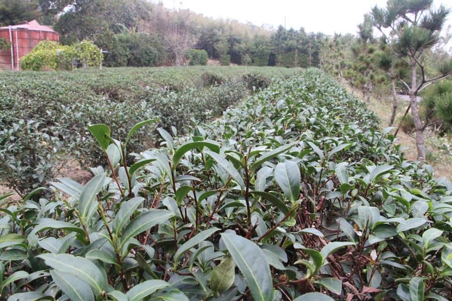 怡香茶園出產頂級好茶,但因下一代沒有接手,茶園僅剩一分多面積。(何冠嫻攝)