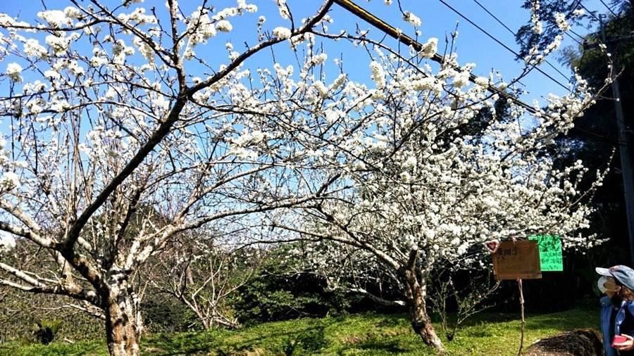 當地有果農開放自家觀光果園,讓遊客入園賞花。(梅山鄉公所提供/張毓翎嘉義傳真)