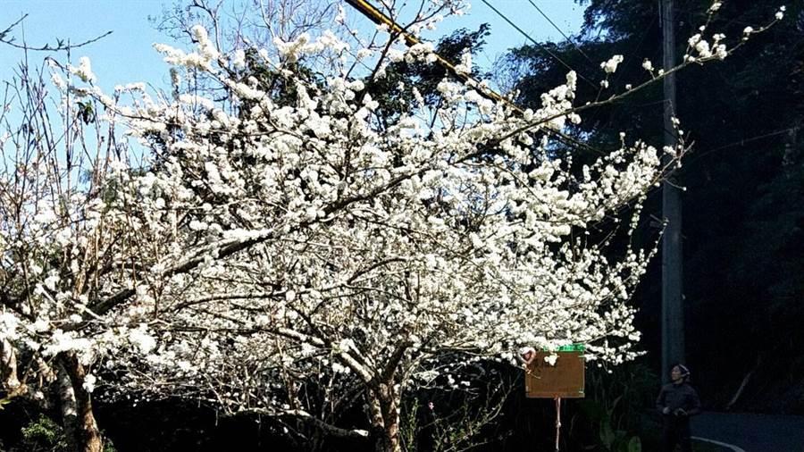 圖為梅山鄉瑞里村科子林的觀光果園,李花盛開景象。(梅山鄉公所提供/張毓翎嘉義傳真)