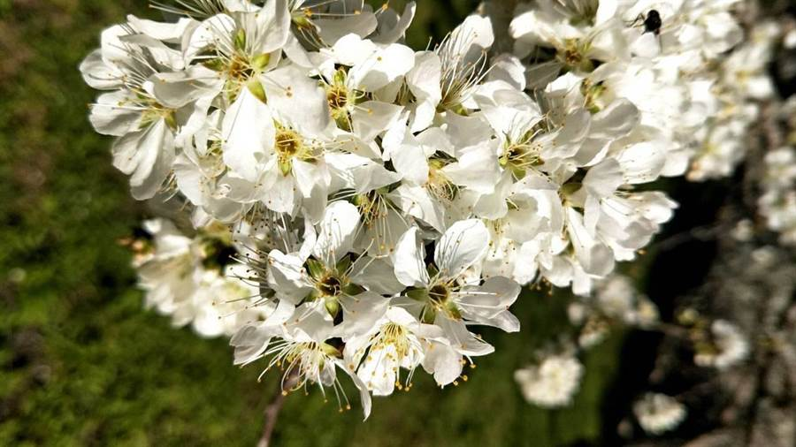 目前李樹開花近4成,白綿綿的李花如雪。(梅山鄉公所提供/張毓翎嘉義傳真)