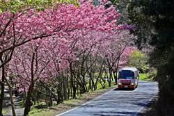 2月武陵賞櫻花將交管22天 明起預購車票