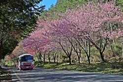武陵櫻花季訂房供不應求 推即時影像掌握花況